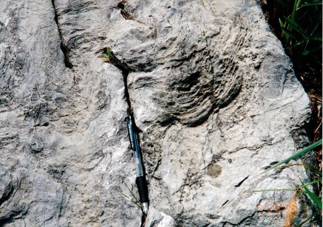 秋吉石灰岩中のストロマトライト